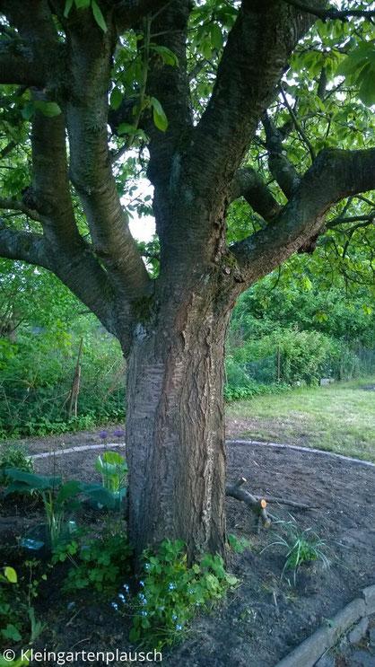 Kirschbaum mit angelegtem, mit einer Reihe Pflastersteine abgegrenztem Beet