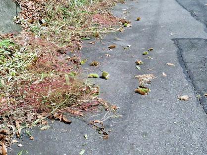 路上に落ちている柴栗。
