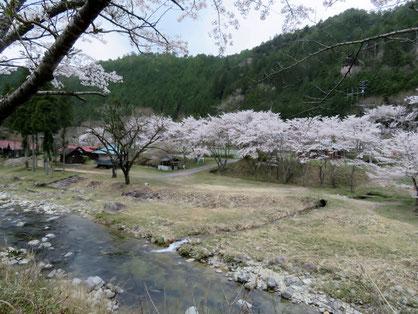 「ふるさと体験村」の桜は満開ないし散り初め。