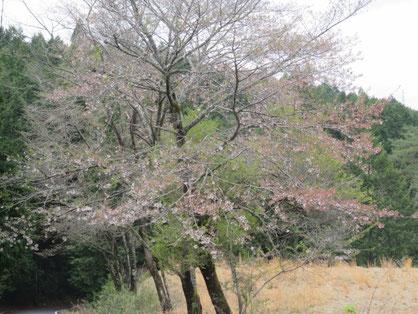ポイント近くの桜は、ほぼ「散りはて」。
