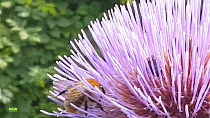 Nahaufnahme einer Ackerhummel, die sich gerade ihren Anteil an Pollen und Nektar aus der lila Artischockenblüte holt - zusammen mit anderen Wildbienen. Hummel-Video von K.D. Michaelis