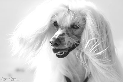 Akhino Newton Chinese Crested Kennel Westfire Germany Chinese Crested Züchter