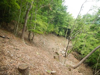 伐採地跡の天然林