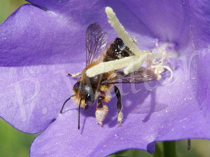 10.06.2017 : Blattschneiderbiene an einer Pfirsichblättrigen Glockenblume