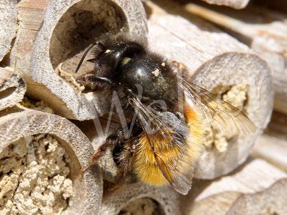 Bild: Gehörnte Mauerbiene, Osmia cornuta, eines der letzten noch aktiven Weibchen, beim Verschließen eines Nisteingangs