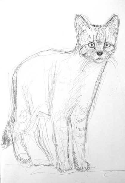 Chat forestier Felis sylvestris croquis Jean Chevallier