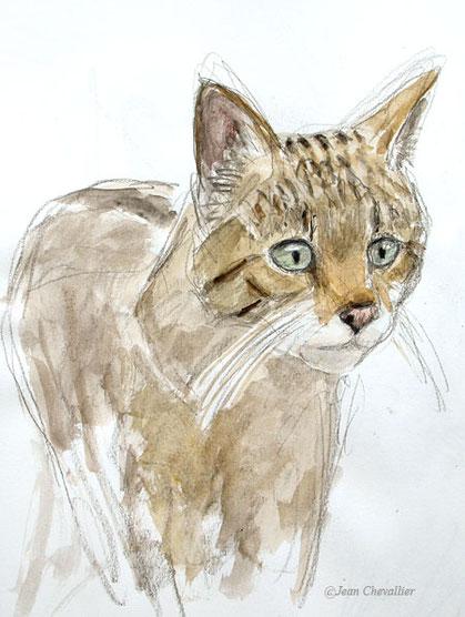 Chat forestier Felis sylvestris , aquarelle Jean Chevallier