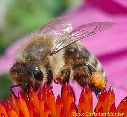 Honigbiene an Sonnenhut, Sundern-Sorpesee 2016