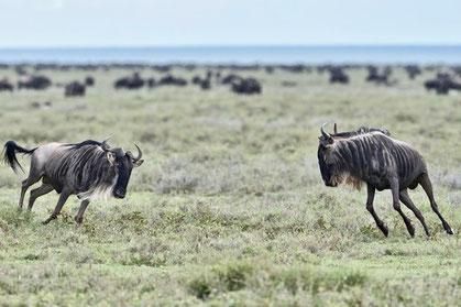 Gnu-Herde während der Rundreise durch vier Naturreservatevier