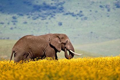 Elefant während der Safari im Ngorongoro Krater
