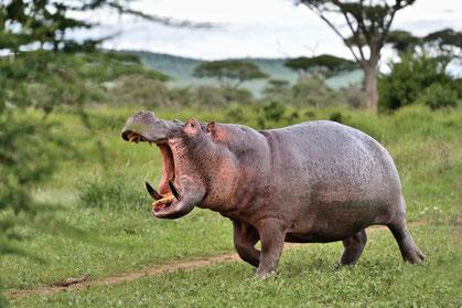 Flusspferd im Ngorongoro Krater