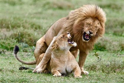 Löwenpaar im Serengeti Naturreservat