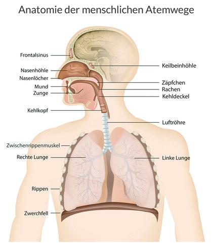 Anatomie der menschlichen Atemwege, Anna Wach