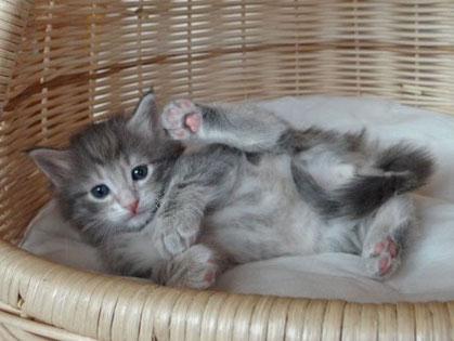 Light Amber tabby ohne  Weißscheckung, 5 Wochen alt, Foto: waldkatzen-von-la-lea-lil.de