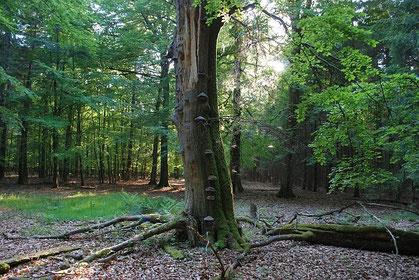 Zukunftsvision: Der Fledermauswald soll sich ungestört zu einem struckturreichen  Laubwald mit jungen und alten Bäumen entwickeln - wie hier in einem Teil des Segeberger Forstes.