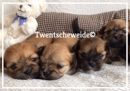 lhasa-apso-puppies