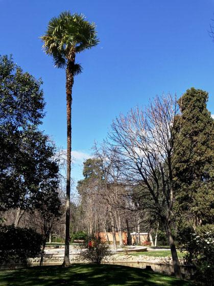 PALMERA DE FORTUNE DEL PARQUE DEL RETIRO. Madrid.