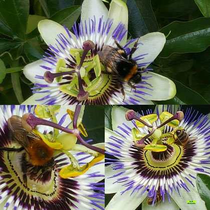 Auch Anfang September herrscht immer noch reger Flugverkehr an der Passionsblumenwand und ihren wunderschönen Blüten von K.D. Michaelis