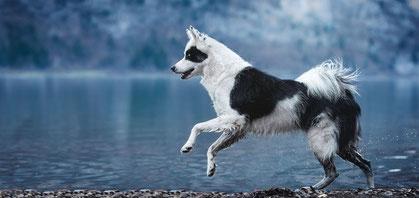 Yakutischer Laika rennt am Walensee entlang fotografiert von der Ostschweizer Fotografin Monkeyjolie