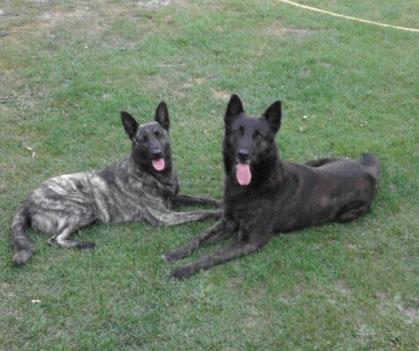 Hollandische Schaferhunde Hollandseherdervomdoellnitztals Webseite