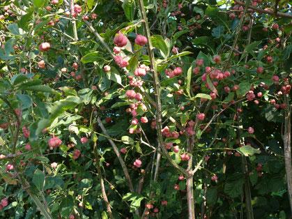 Eunonymus europaeus Pflanze mit Früchten