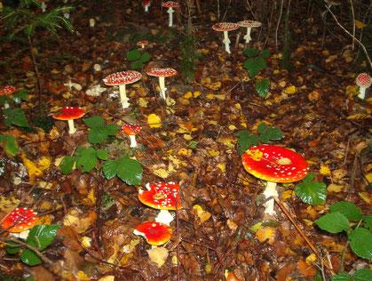 Amanita muscaria, mehrere Pilze, Fruchtkörper