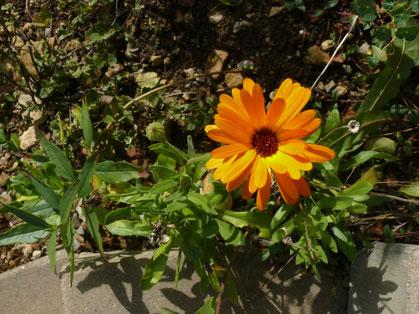 Calendula officinalis Pflanze mit Blüte