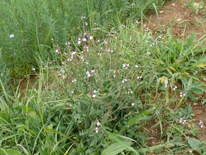 Verbena officinals Pflanze mit Blüten