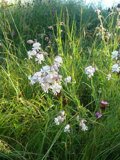 Silena vulgaris Blüten