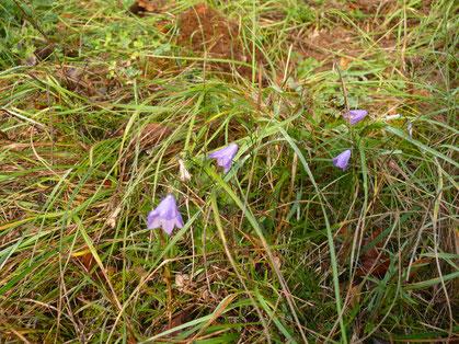 Campanula patula Pflanze mit Blüten