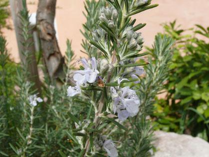 Rosmarinus officinalis Blütenzweig