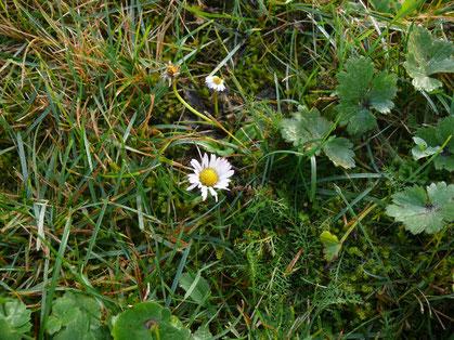 Bellis perennis Blüte in der Wiese