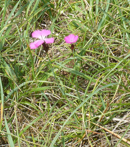 Dianthus carthusianorum Pflanze mit Blüte