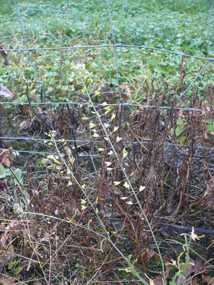 Capsella bursa pastoris Pflanze mit Blättchen und Blüten