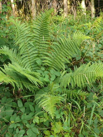 Dryopteris filix-mas Pflanze mit Blätter