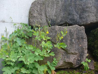 Chelidonium majus Pflanze mit Blüten
