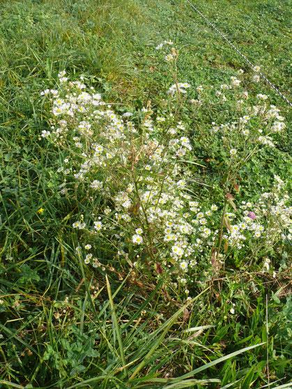 Erigeron annuus Pflanze mit Blüten
