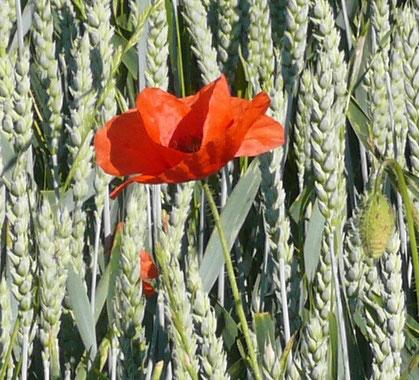Papaver rhoeas Blüte im Getreidefeld