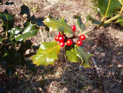 Ilex Zweig mit Blätter und Beeren
