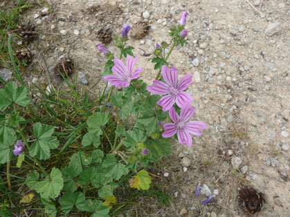 Malva sylvestris Pflanze mit Blüten