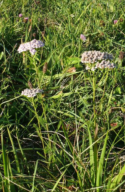 Achillea millefolium Blüte