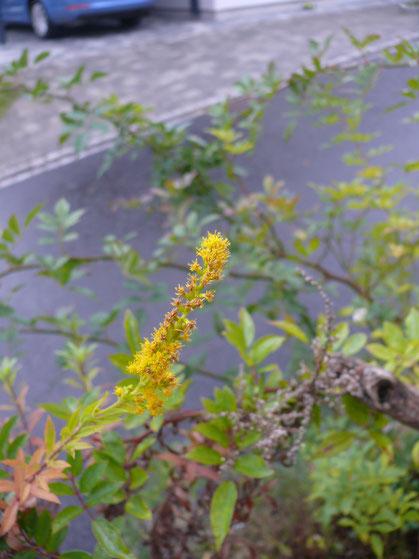 Solidago canadensis Blüten