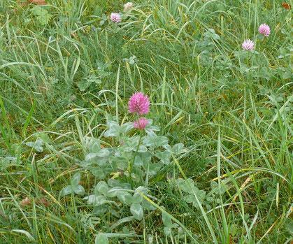 Trifolium pratense Pflanze mit Blüte