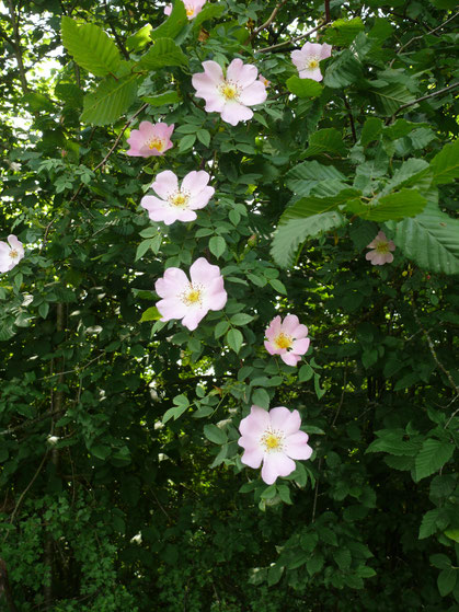 Rosa canina Zweig mit Blüten