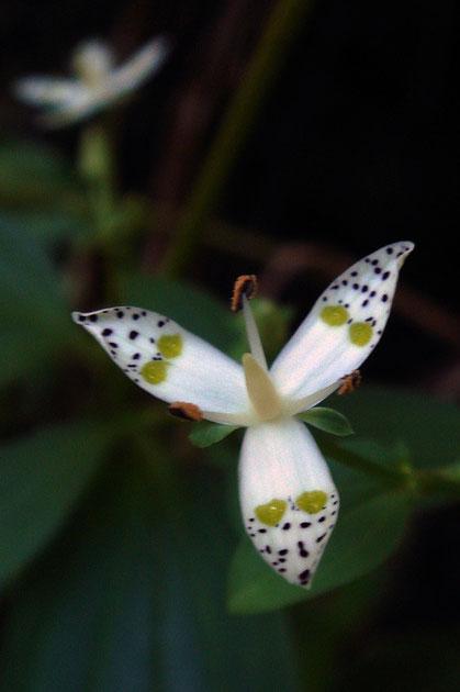 花弁が3裂! 存在は知っていたが見るのは初めて 雄しべも3個
