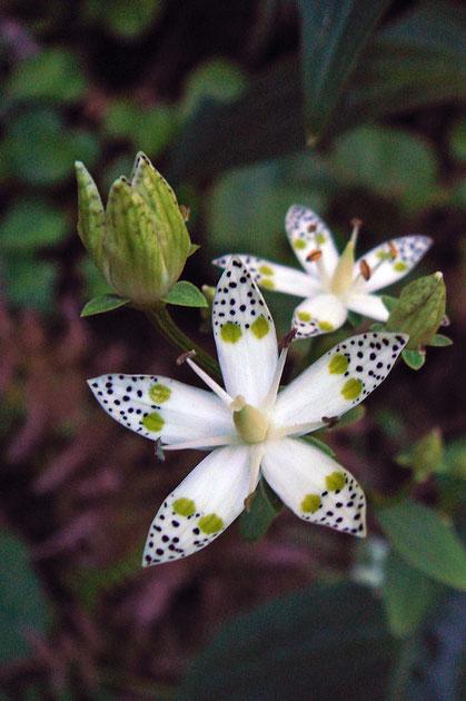 アケボノソウ 花弁が5裂する標準的な花