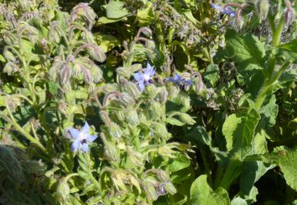Boragia officinalis Pflanze mit Blüten