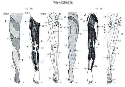 下肢の髄節支配