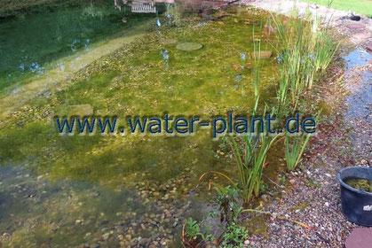 Klärzone mit Algen und zu wenigen Pflanzen