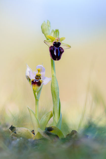 Ophrys tenthredinifera (links) und Ophrys incubacea (rechts)